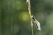 Butterfly-lion (Libelloides longicornis) on an ear, Calcareous grassland, Meuse, France