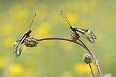 Butterfly-lion (Libelloides coccajus) on a flower, calcareous grass, Vosges, France