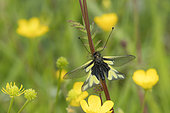 Butterfly-lion (Libelloides coccajus) on a stem, calcareous grass, Vosges, France