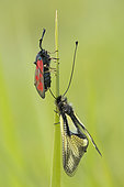 Butterfly-lion (Libelloides coccajus) and Burnet (Zygaena sp) on a leaf, calcareous grass, Vosges, France