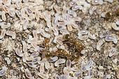 Ant (Temnothorax sp) under limestone rock, Province of Nuoro, Sardinia