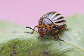 Colorado potato beetle (Leptinotarsa decemlineata) on a leaf, France