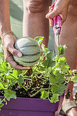 Harvesting a potted melon