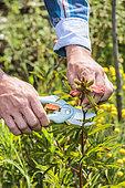 Homme nettoyant une pivoine herbacée montée à graines.