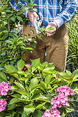 Man cutting a camellia in a bed of heather plants.