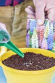 Hybrid lupine seedling in pot