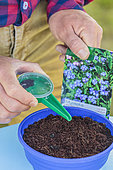Sowing of forget-me-nots