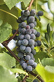 """Grape 'Fragola' aka 'Isabelle', raspberry grapes, blackcurrant grapes. Grape variety formerly forbidden (from 1935 to 2003), taste """"foxé"""", musky, which earned him the nickname of raspberry in Italian (fragola, hence its name variety for table grapes)."""