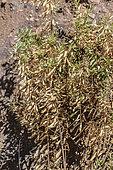 Polygale à feuilles de myrte (Polygala myrtifolia) attaqué par la Bactérie tueuse d'oliviers (Xylella fastidiosa). La bactérie est sans doute beaucoup plus répandue en Corse, comme cela a souvent été le cas pour les infestations de ce type.