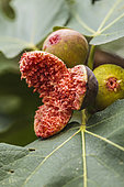 Fig burst with moisture. Sudden moisture after a dry phase causes the figs to burst during ripening