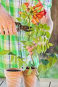 Bouturage de la Bignone (Campsis radicans) 1. Étêter la bouture (boutons et fleurs)