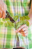 Bouturage de la Bignone (Campsis radicans) 3. Réduire la surface foliaire