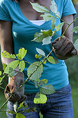 """Woman weeding brambles. To protect themselves from the prickles of the bramble (thorns), good gloves are essential, like the models of leather """"special for thorny""""."""