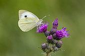 Cabbage white (Pieris rapae) feeding on thistle, England