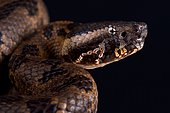 Chinese Mountain Pit Viper (Ovophis monticola)