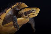 White-lipped Mud Turtle (Kinosternon leucostomum postinguinale)