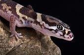 Central American Banded Gecko (Coleonyx mitratus)