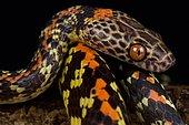 Checker-bellied snake (Siphlophis cervinus)