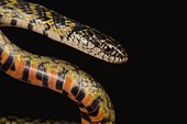 Mangrove Snake (Liophis cobellus)