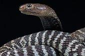 Cobra zébré (Naja nigricincta nigricincta) sur fond noir