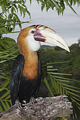 Papuan Hornbill (Rhyticeros plicatus), Papua New Guinea