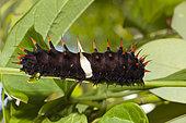 Caterpillar Queen Alexandras Birdwing (Ornithoptera alexandrae), Papua New Guinea