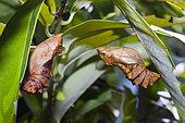 Larva of Queen Alexandras Birdwing (Ornithoptera alexandrae), Papua New Guinea