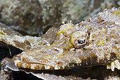 Beauforts Crocodilefish (Cymbacephalus beauforti), Papua New Guinea