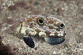 Crab-eye Goby (Signigobius biocellatus), Papua New Guinea