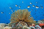 Crinoids in Coral Reef (Comaster schlegelii), Papua New Guinea