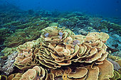 Reef of Lettuce Coral (Turbinaria mesenterina), Papua New Guinea