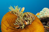 Pink Anemonefish (Amphiprion perideraion), Papua New Guinea