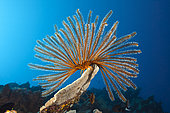 Bushy Feather Star (Comaster schlegelii) in Coral Reef, Papua New Guinea