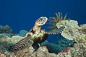 Hawksbill Sea Turtle (Eretmochelys imbricata), Papua New Guinea