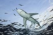 Oceanic Whitetip Shark (Carcharhinus longimanus) and Pilotfishes (Naucrates ductor), Bahamas