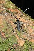 Petit capricorne (Cerambyx scopolii) sur écorce, France