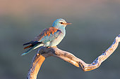 roller (Coracias garrulus) perched on a branch, Spain