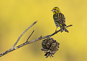 Serin (Serinus serinus) perched on a branch, Spain