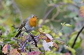 European robin (Erithacus rubecula), on a bramble in autumn, Doubs, France