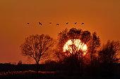 Flight of Cranes (Grus grus) sunset at Lake Der, Haute Marne, Montier en Der, Haute-Marne, France