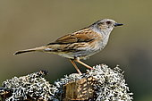 Dunnock (Prunella modularis) male on a branch covered with lichens, France