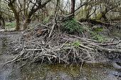 European Beaver hut (Castor fiber) natural area of the Allan in Brognard, Doubs, France