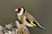 Goldfinch (Carduelis carduelis) eating seeds, France