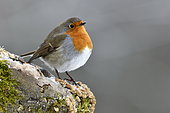 European robin (Erithacus rubecula), posing on a branch in winter, France