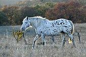 Cheval blanc tacheté de noir en pâture à Ecot, Doubs, France