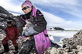 "Ornithologists of the ANTAVIA / ECOPHY program capture Adélie penguin chicks in order to implant transponders (digital tagging for life in a subcutaneous flea), before their ""flight"". Dumont-d'Urville Antarctic Base, Adélie Land, Antarctica"