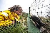 Emouvante rencontre entre un bébé Otarie à fourrure subantarctique (Arctocephalus tropicalis) curieux et une touriste sur l'ile d'Amsterdam. Terres Australes et Antarctiques Françaises