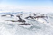 Base Antarctique française Dumont d'Urville, en Terre-Adélie, archipel de Pointe Géologie, ile des Pétrels. En temps normal, les iles de l'archipel sont séparées par de l'eau libre en été. Depuis 2 ans, la banquise ne débâcle plus. Antarctique