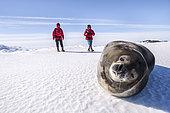 Phoque de Weddell (Leptonychotes weddellii) et touristes sur la banquise, Base antarctique Dumont d'Urville, Terre Adélie, Antarctique