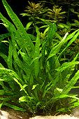Java fern 'Narrow leaves' (Microsorum pteropus)